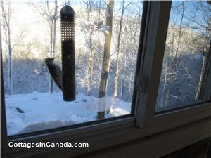 A Hairy Woodpecker feeding on peanuts right beside the kitchen sink window.
