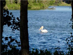 Pelicans, eagles, osprey and great blue herons often grace our little bay.